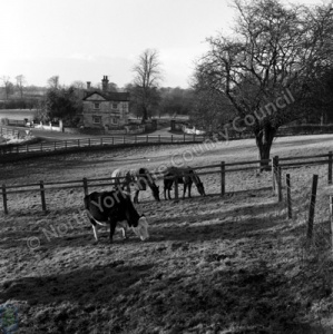 Copgrove, Cattle and Ponies